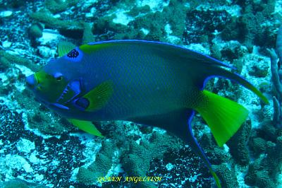 Click image for larger version  Name:QUEEN  ANGELFISH.jpg Views:88 Size:66.1 KB ID:12731
