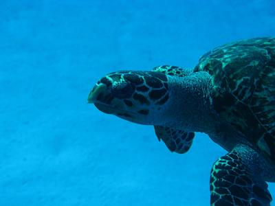 Click image for larger version  Name:HAWKSBILL.jpg Views:113 Size:44.5 KB ID:12735