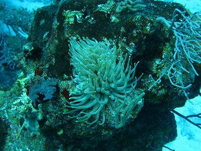 Click image for larger version  Name:SEA ANEMONE.jpg Views:100 Size:120.6 KB ID:12738
