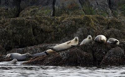 Click image for larger version  Name:seals on a Maine ledge.jpg Views:92 Size:81.6 KB ID:13358