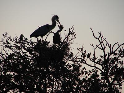 Click image for larger version  Name:Heron & baby 2.JPG Views:107 Size:155.4 KB ID:18481
