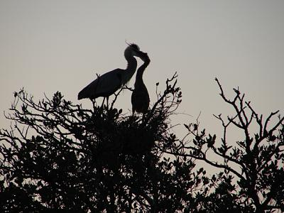 Click image for larger version  Name:Heron & baby 3.JPG Views:104 Size:154.3 KB ID:18482