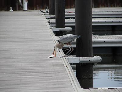 Click image for larger version  Name:heron with mullet 2.jpg Views:88 Size:113.5 KB ID:18483