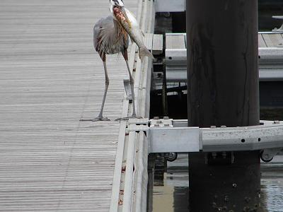 Click image for larger version  Name:heron with mullet 3.jpg Views:100 Size:103.4 KB ID:18484