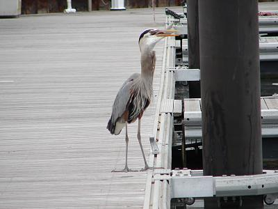 Click image for larger version  Name:heron with mullet 4.jpg Views:108 Size:107.3 KB ID:18485