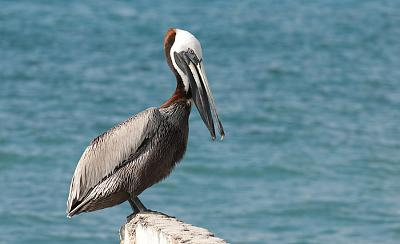 Click image for larger version  Name:Brown-Pelican.jpg Views:94 Size:175.7 KB ID:18493