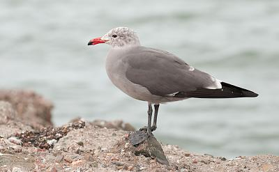 Click image for larger version  Name:Hermann's-gull.jpg Views:94 Size:168.1 KB ID:18497