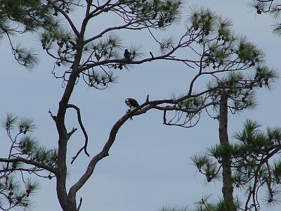 Osprey w mullett in tree BB.jpg