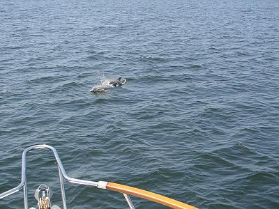Click image for larger version  Name:Porpoises.jpg Views:130 Size:192.9 KB ID:20285