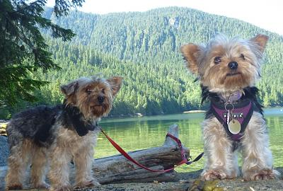 Click image for larger version  Name:Yorkies July '13.jpg Views:175 Size:165.4 KB ID:21403