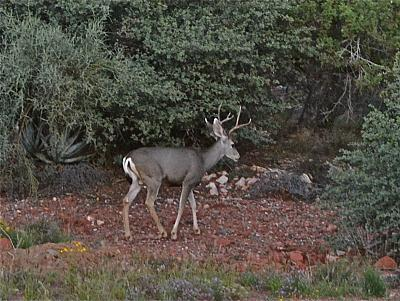 Click image for larger version  Name:Buck in Sedona.jpg Views:71 Size:182.2 KB ID:23388