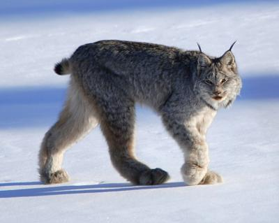 Click image for larger version  Name:Canadian Lynx.jpg Views:74 Size:101.2 KB ID:23396