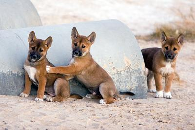 dingoes-preview.jpg
