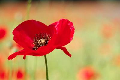 Click image for larger version  Name:remembrance-day-aus.jpg Views:94 Size:16.8 KB ID:24595