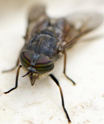 Click image for larger version  Name:badger horsefly.jpg Views:92 Size:55.1 KB ID:27089