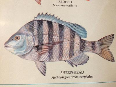 Click image for larger version  Name:Sheephead.jpg Views:90 Size:122.6 KB ID:35352