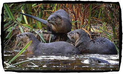 Click image for larger version  Name:River Otter (3).jpg Views:97 Size:151.6 KB ID:35820