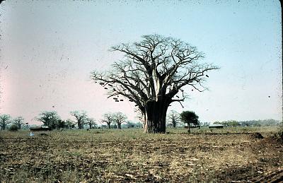 Baobab bee tree.jpg