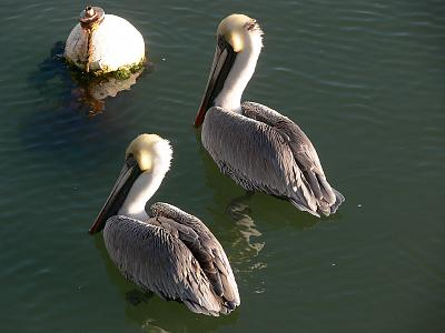 Conch House Pelicans.jpg