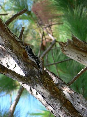 Hairy Woodpecker.jpg