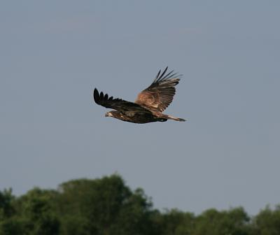 Click image for larger version  Name:A Young EagleIMG_6716.jpg Views:69 Size:36.8 KB ID:48261