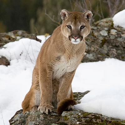 Click image for larger version  Name:Cougar6.jpg Views:53 Size:101.3 KB ID:53854