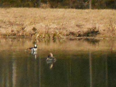spring ducks.jpg