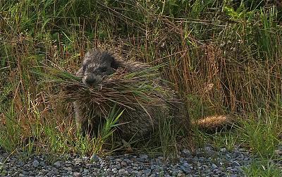 Marmot on Kitamaat Village Road.jpg
