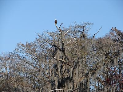 Click image for larger version  Name:Bald  Eagle,     Magazille.jpg Views:116 Size:197.7 KB ID:60651