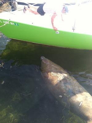 Click image for larger version  Name:manatee.JPG Views:264 Size:62.3 KB ID:62893