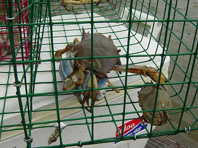 Click image for larger version  Name:Crabs in trap 001.jpg Views:110 Size:189.6 KB ID:66420