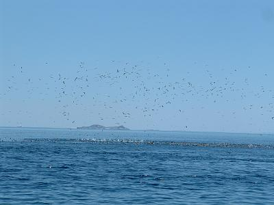 Click image for larger version  Name:tuna birds.jpg Views:103 Size:103.4 KB ID:67092