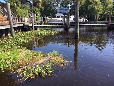Click image for larger version  Name:Gator in marina.JPG Views:55 Size:187.2 KB ID:72866