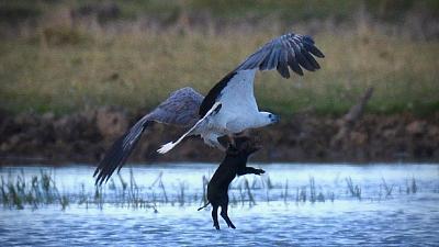 Click image for larger version  Name:Sea eagle pig.jpeg Views:44 Size:62.0 KB ID:94924