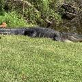 Six and a half foot alligator sunning itself